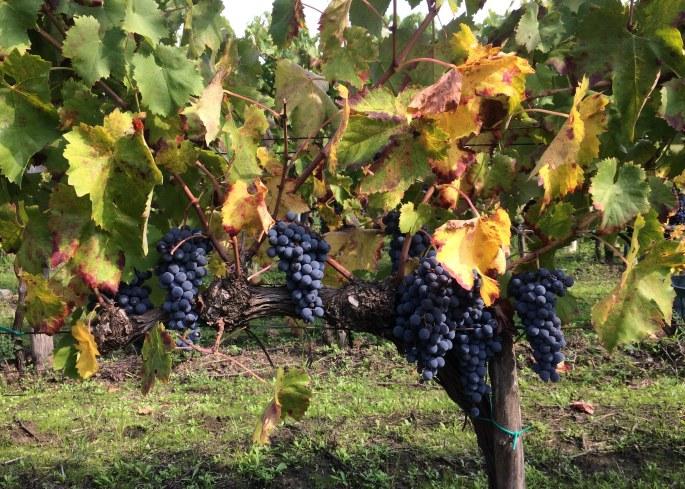 hazventuras-vendemmia-grape-vine